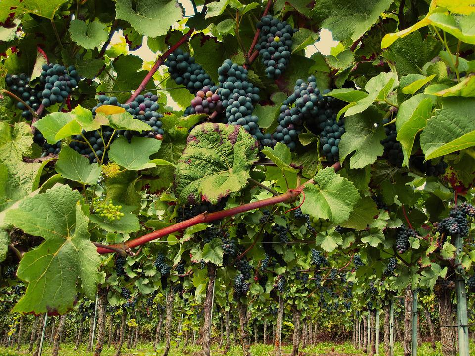 Winorośl, Pinot Noir, Grapevine, Wino, Winogrona