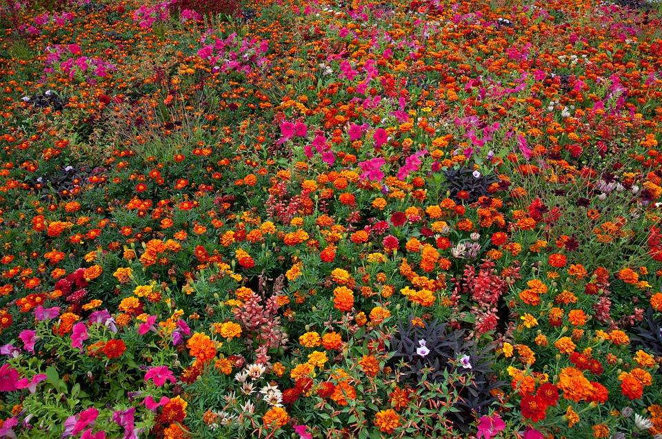 Tagète, Fleurs, Fleur, Fleur D'Été, Orange, Jaune