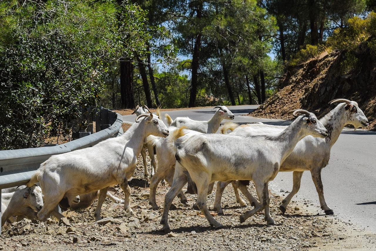 глядя козы в лесу картинки пересохранила второе