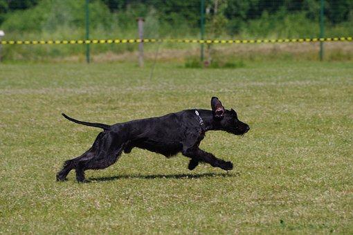 Giant Schnauzer, Running, Dog