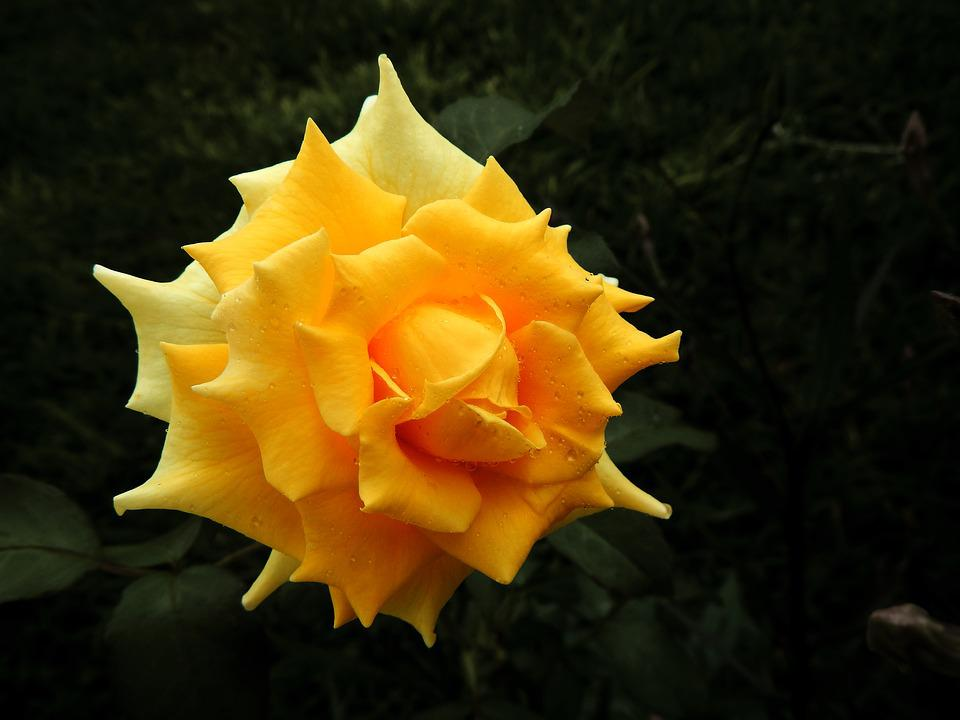 Yellow rose flower free photo on pixabay yellow rose flower garden mightylinksfo