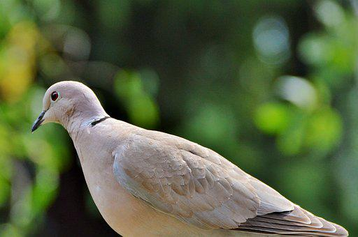 Dove, Bird, Street Deaf, City Pigeon
