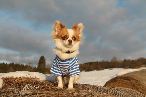 Chihuahua, Winter, Sweet