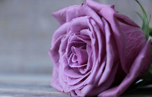 Purple roses images pixabay download free pictures mightylinksfo