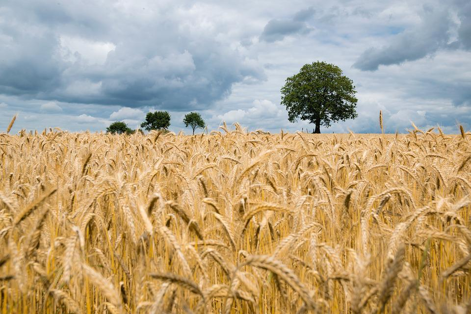 Agriculture, Barley, Cereal, Clouds, Corn, Countryside, Lughnasadh