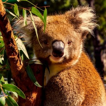 Koala, Animal, Wildlife, Macro, Closeup
