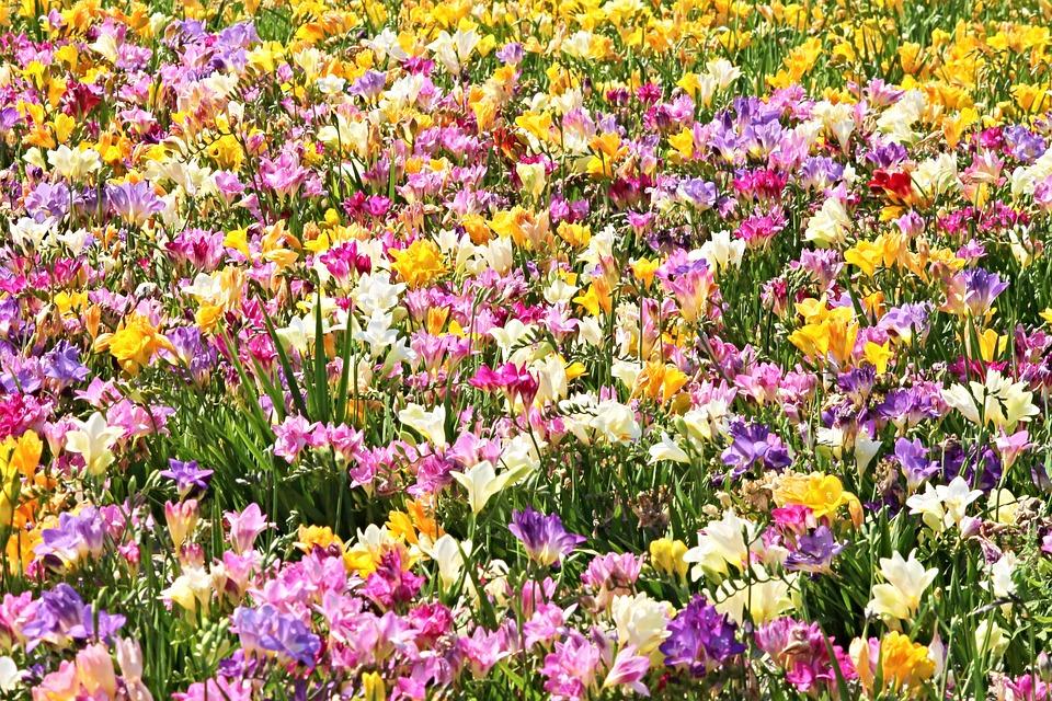 Freesias Field Of Flowers Sea · Free photo on Pixabay