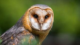Barn Owl, Owl, Bird, Predator, Beak