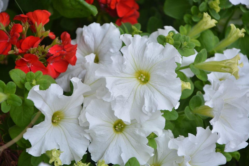 Petunie Weiß Weiße Blumen Garten · Kostenloses Foto auf Pixabay