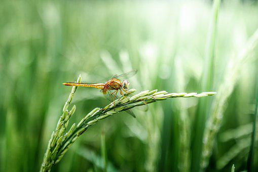 Dragonfly, Grain, Green, Peaceful, Rice