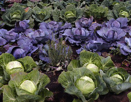 Savoy, Kohl, Herb, Vegetables, Arable