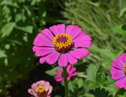 Rose Chaud Zinnia, Fleur, Bloom, Plantes