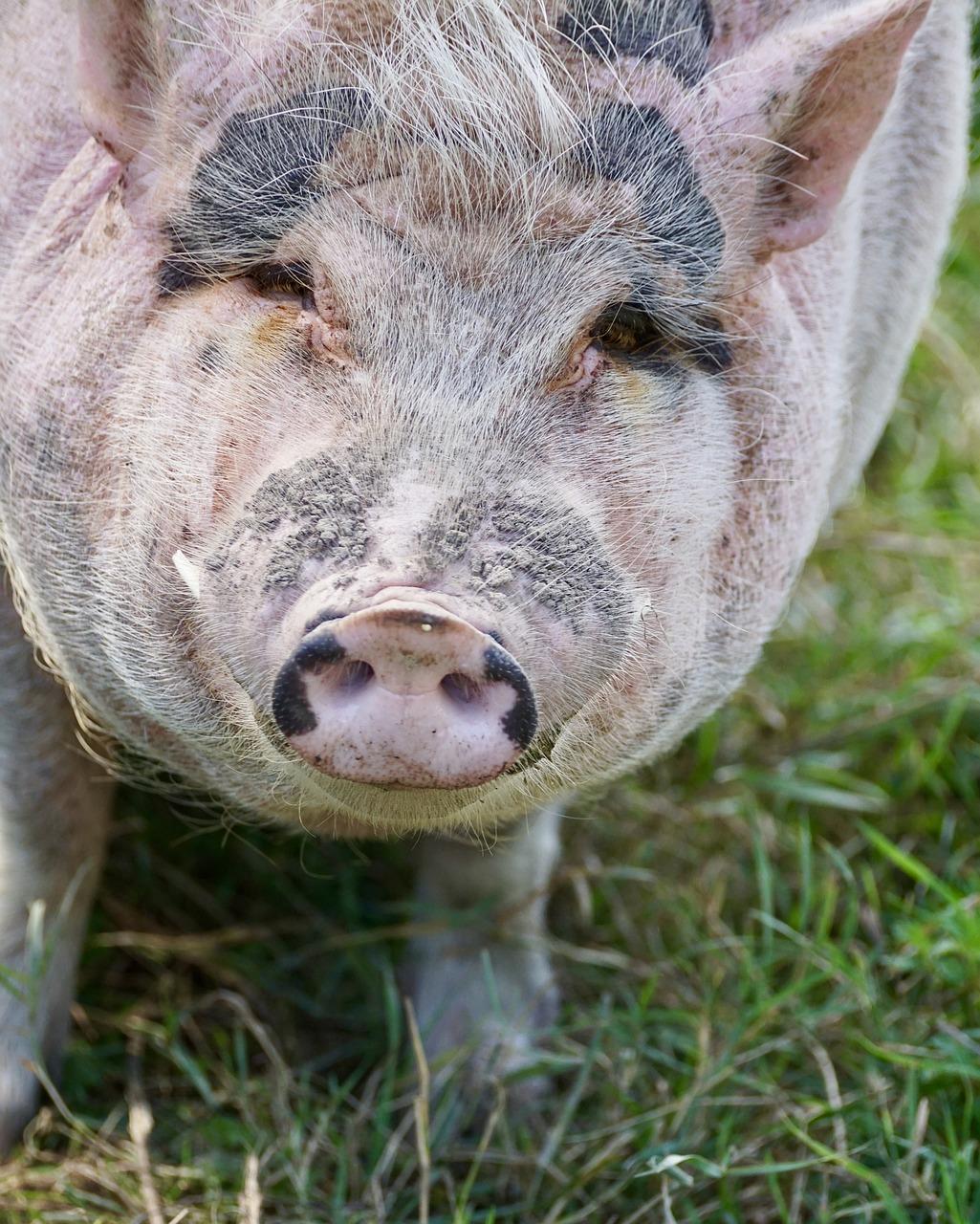 Свинья картинка фото