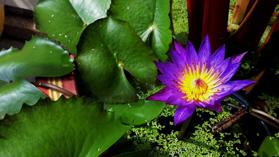 Bunga Teratai Kolam Foto Gratis Di Pixabay
