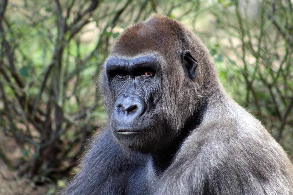 Gorilla Forest Wildlife · Free photo on Pixabay Zoo Road Sign