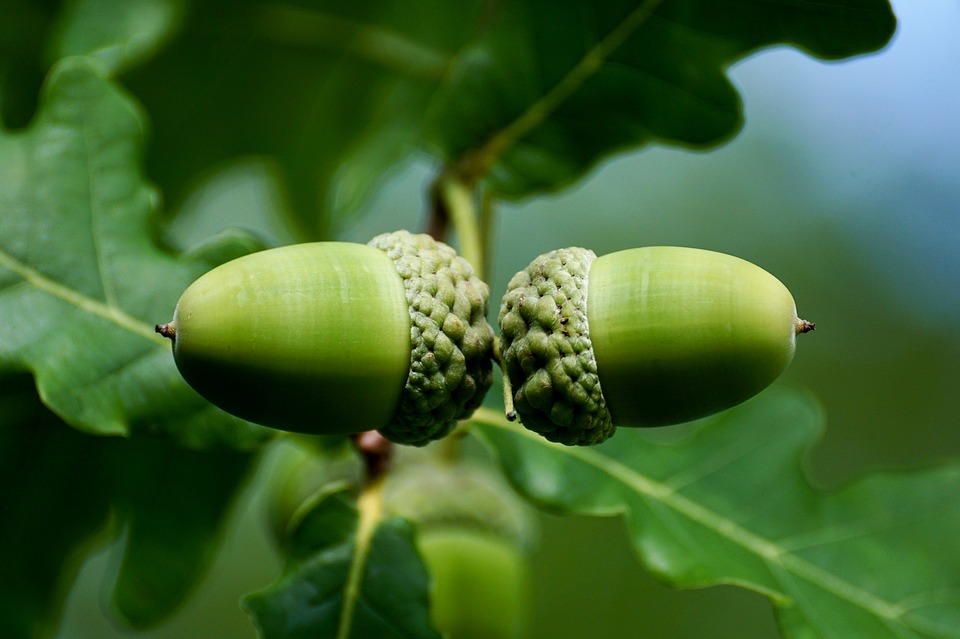 Oak Tree Fruit Part - 32: Acorn, Fruit, Tree, Nature, Oak Fruit, Green, Genus