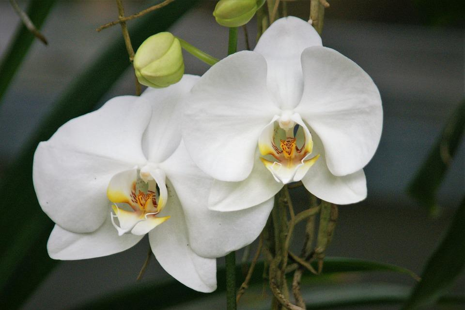 Orchid White Flowers - Free photo on Pixabay