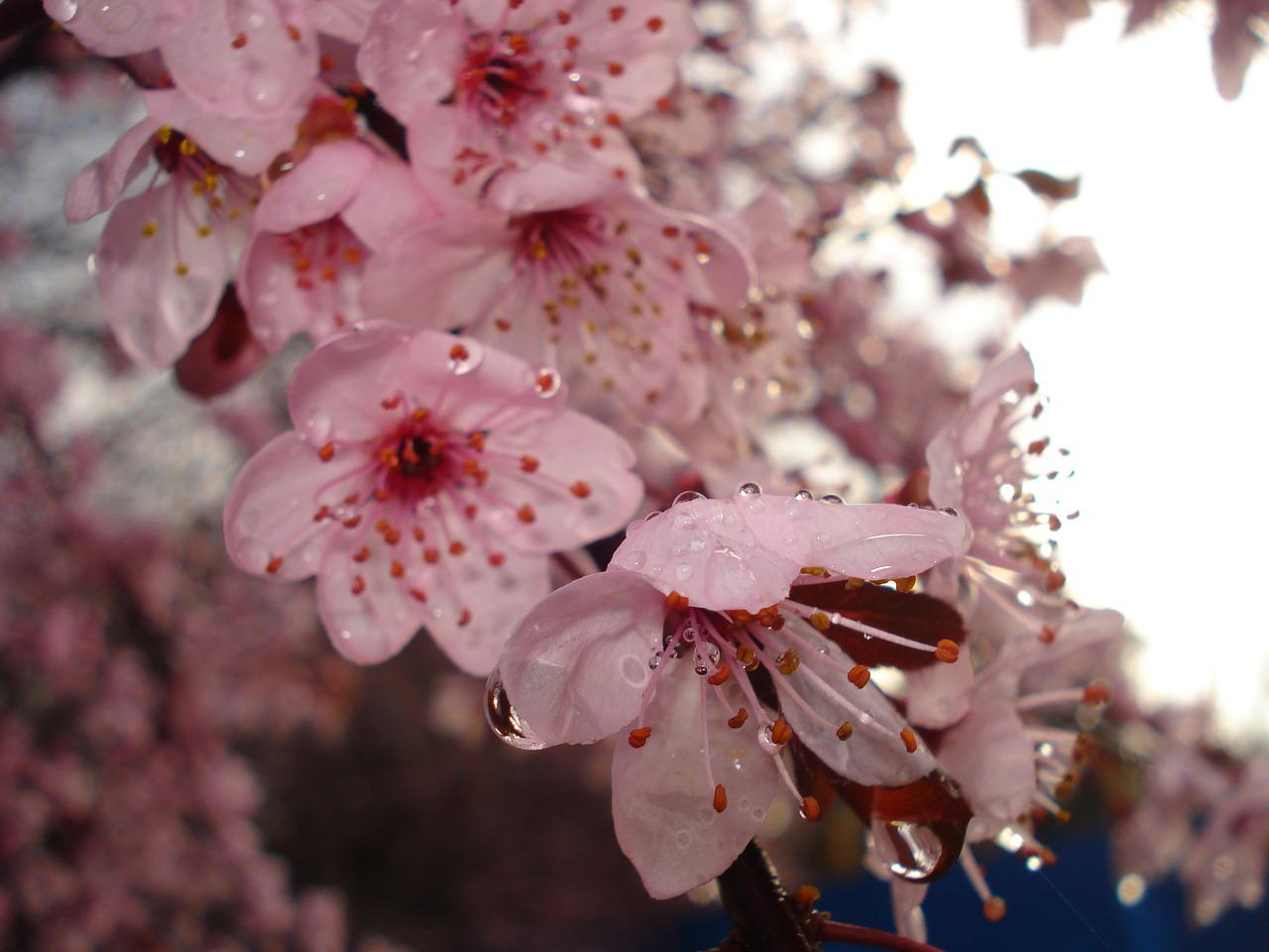 цветы вишни фото картинки преподаватели объяснят, как