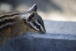 chipmunk, squirrel, mammal