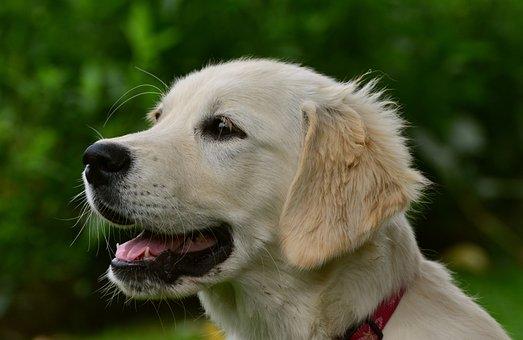800+ Free Golden Retriever & Dog Images - Pixabay