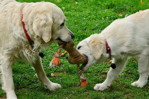 Dogs, Golden Retriever, Playing Dogs