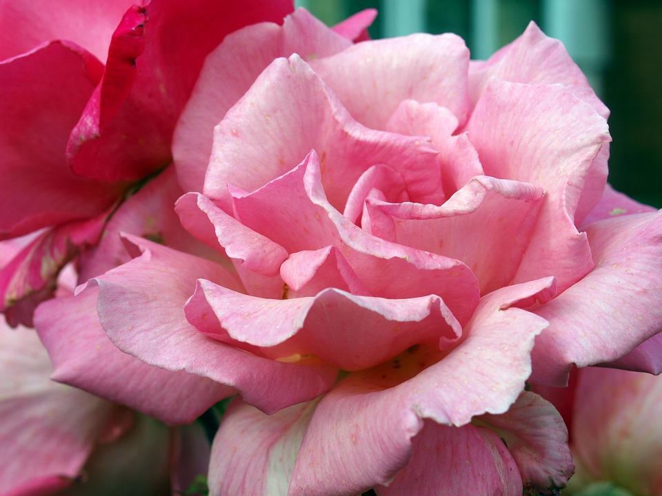 Pink Rose Flower Pretty Bloom Garden