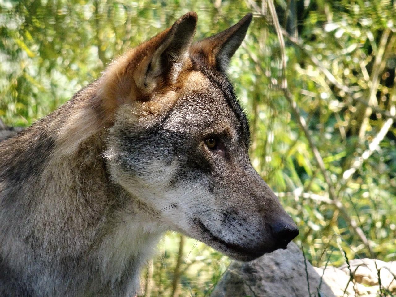 три фото с головой волка названия