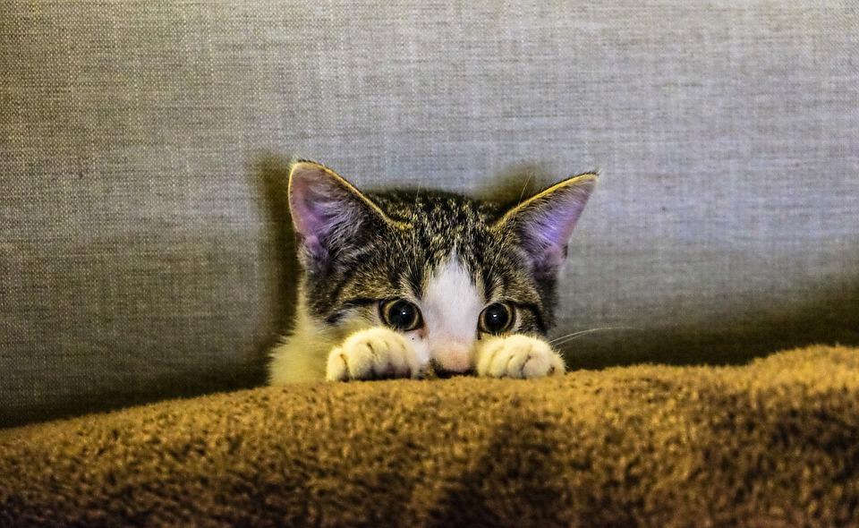 Коте, Животните, Домашни Любимци, Лапи, Диван