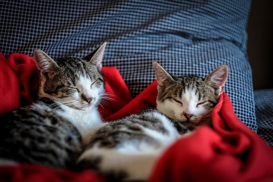 猫, 子猫, 家, 動物, ペット, 赤, 毛布, 枕
