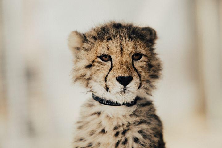 500 kostenlose gepard und tierbilder  pixabay