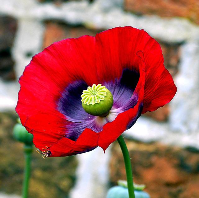 Opium poppy flower free photo on pixabay mightylinksfo