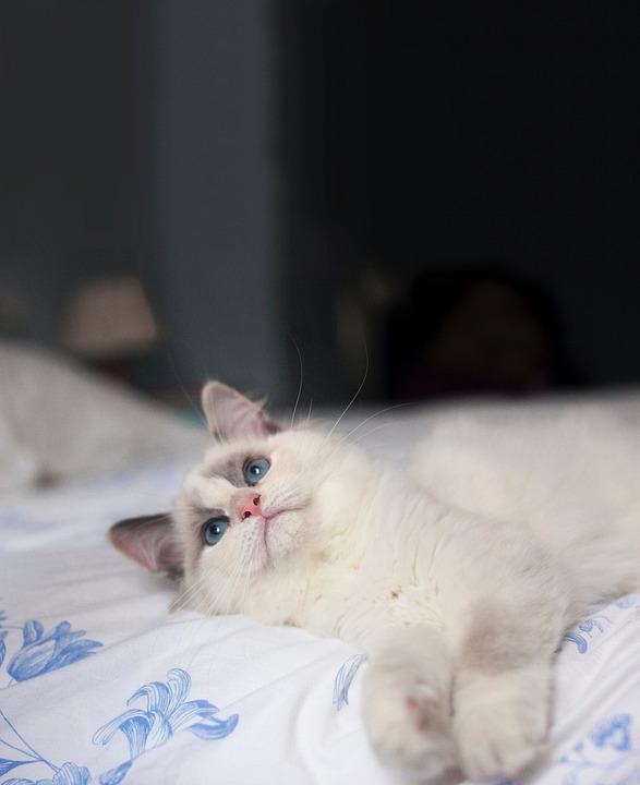 Котка, Коте, Животните, Домашни Любимци, Размазване