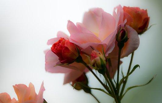 Rose, Pétale, Floraux, Bloom, Fleur