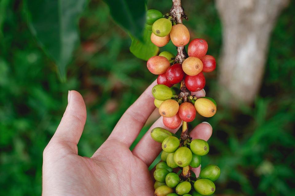 Fresh, Coffee, Bean, Garden, Farm, Green, Plants, Seeds