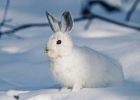White, Rabbit, Animal, Pet, Snow