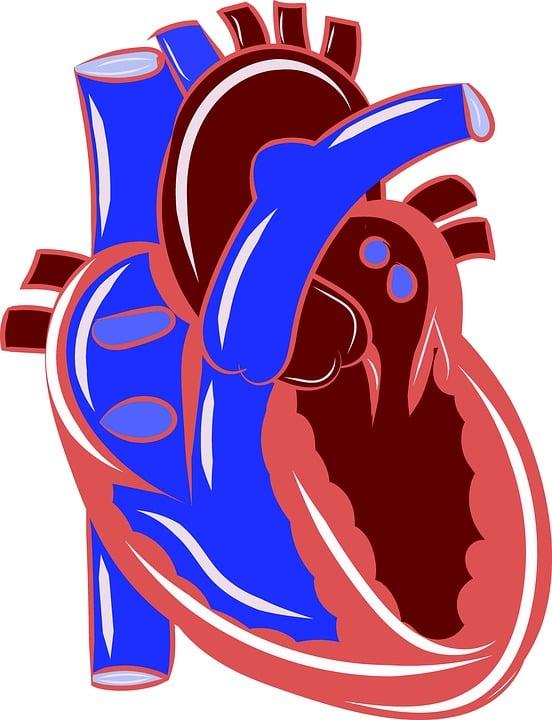 Heart, Anatomy, Circulatory, Health, Medical, Human
