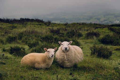 Sheep, Ram, Lamb, Animal, Green, Grass