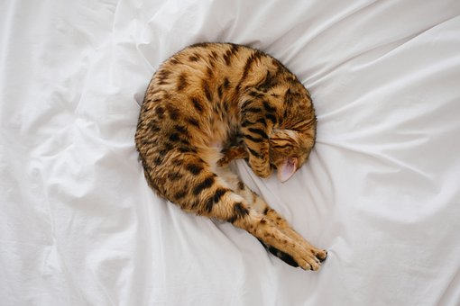 Cat, Kitten, Pet, Animal, White, Bed