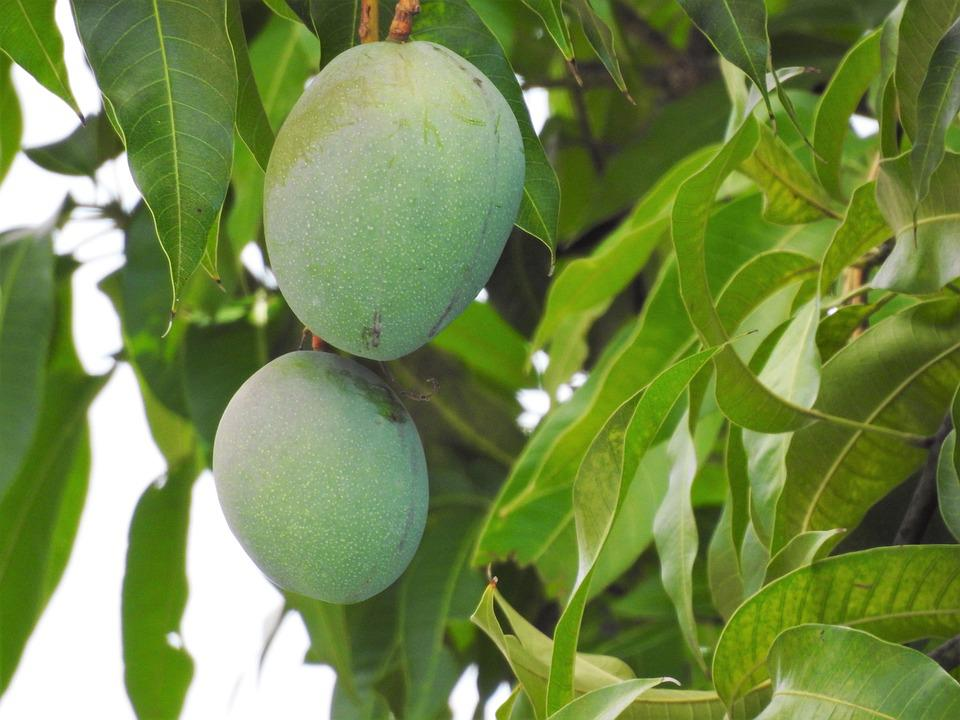 manguier amazing manguier with manguier bengali with manguier trendy photo with manguier. Black Bedroom Furniture Sets. Home Design Ideas