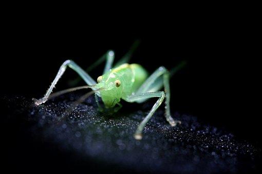 Krekel beelden pixabay download gratis afbeeldingen insect groene krekel kleine macro altavistaventures Images