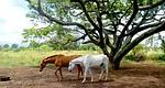 maui, hawaii, horses