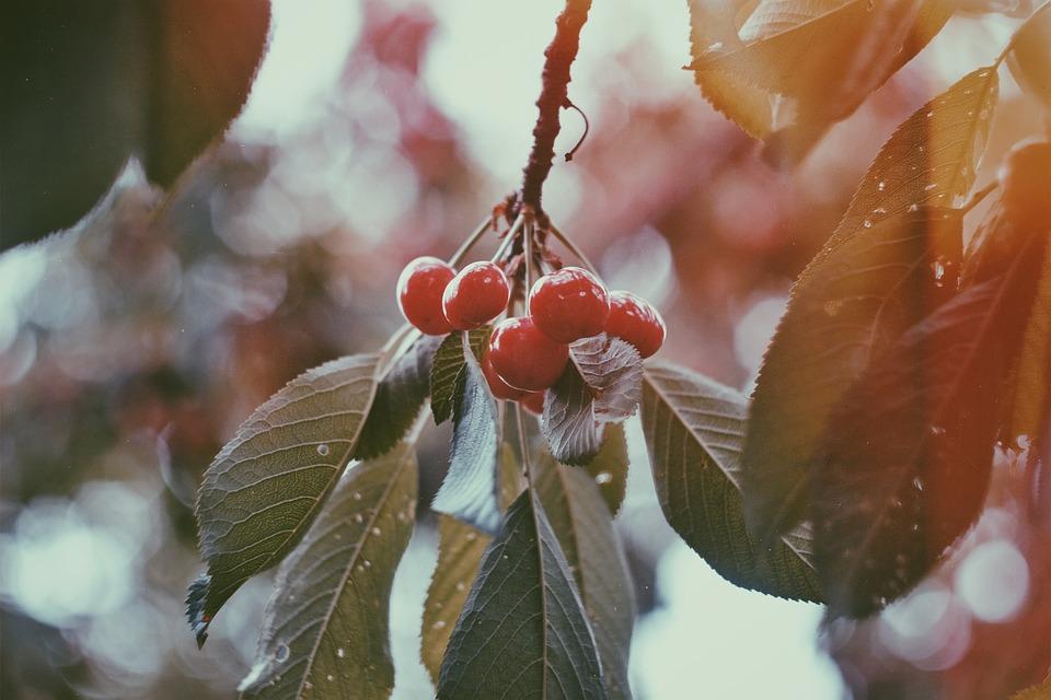 japansk kirsebær frugt