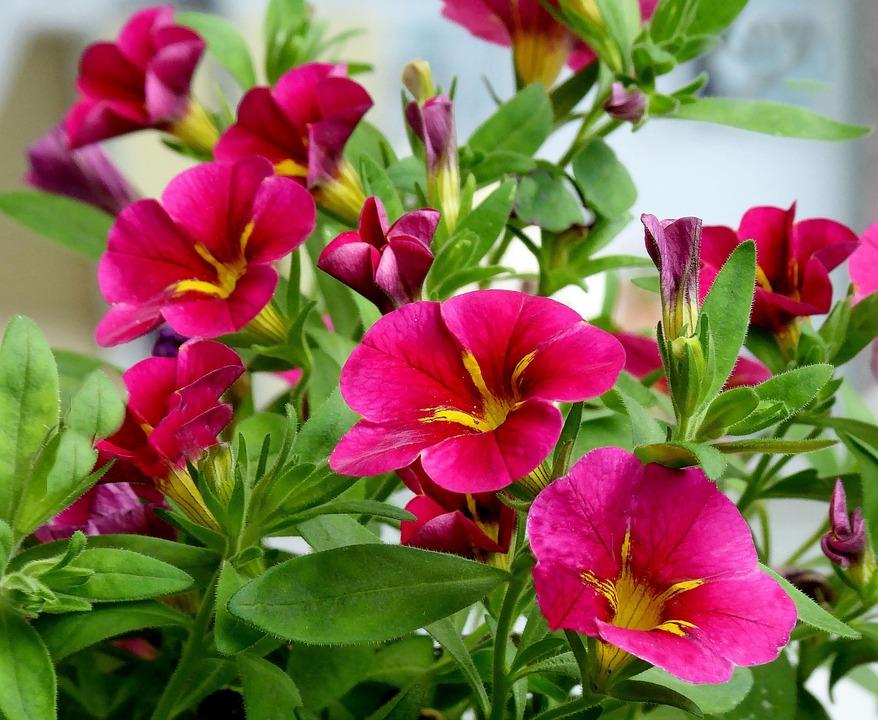 Balkon Blumen Balkonpflanze Kostenloses Foto Auf Pixabay