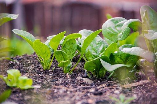 緑, 計画, 食品, 菜食主義者, ホウレンソウ, エコ, 自然, ツリー