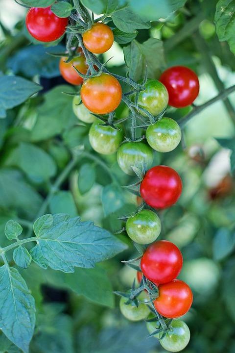 Pomodorini, Pomodori, Mature, Red, Cibo, Vegetale, Sano