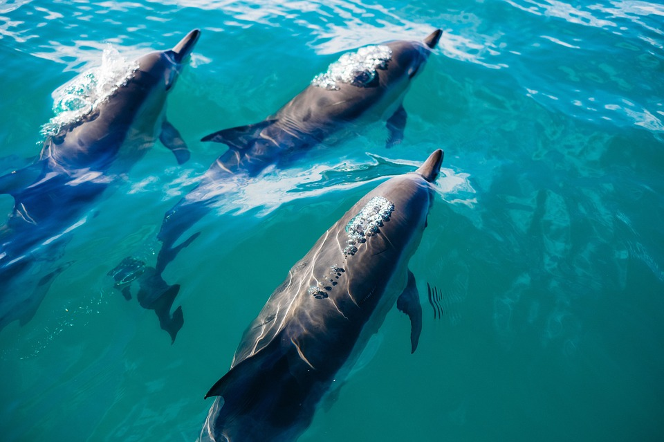Blue, Water, Underwater, Dolphin, Animal
