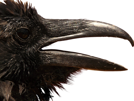 Raven, Png, Head, Clipping