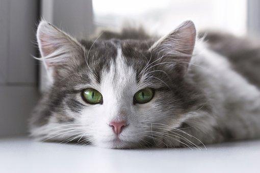 Katze, Tier, Kätzchen, Niedlich, Augen