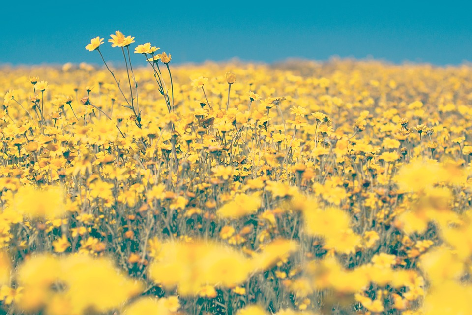 Yellow flowers farm free photo on pixabay yellow flowers farm yard field garden blue sky mightylinksfo