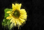 sunflower, plant, yellow